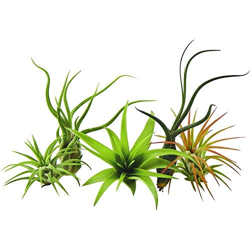 GEOPONICS Package of 5 rare plants Tillandsias air plant by US Gardens live Plant of the house with us Flant